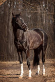 Trakehner stallion  — Stock Photo