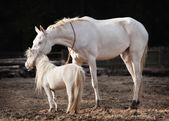 Mare and stallion — Stock Photo