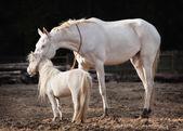 Mare and stallion — Stock Photo