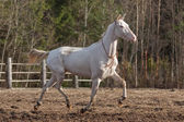 Akhal Teke mare — Stock Photo