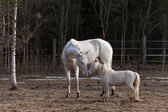 Akhal Teke mare and mini horse stallion — Stock Photo