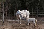 Akhal Teke mare and mini horse stallion — Stock Photo