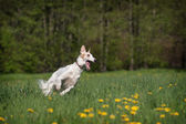 Russian wolfhound — Stock Photo