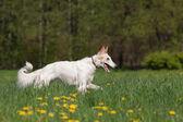 Russian wolfhound — Stock Photo