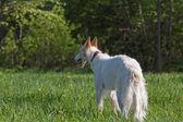 Russische wolfshond — Stockfoto