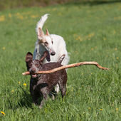 Russian wolfhound and German shorthaired pointer — Stock Photo