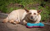 Dog with toy bone — Stock Photo