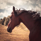 Trakehner horse — Stock Photo