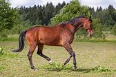 Cavallo trakehner — Foto Stock