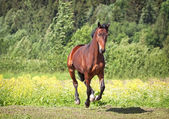 Trakehner horse — Stock Photo