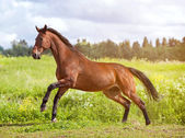 Dark bay horse — Stock Photo