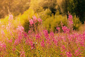 Blooming willow-herb — Stock Photo