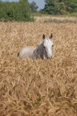 Light grey horse — Stock Photo