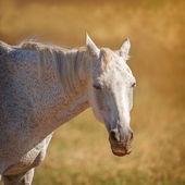 Akhal Teke horse — Stock Photo