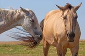 Akhal Teke horses  — Stock Photo