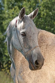 Akhal Teke horse — Stock Photo
