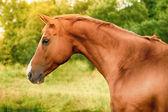 Cavallo don russo — Foto Stock