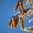 Fir cone - Stock Photo