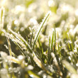 Grass frost - Stock Photo