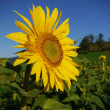 Sunflower sky outside - Stock Photo
