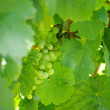 Grape-vine — Stock Photo