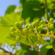 Grape-vine — Stock Photo #18705333