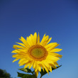 Sunflower sky outside — Stock Photo