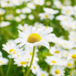 Ox-eye daisies field — Stock Photo