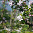 Apple flowers and buds blooming at spring — Stock Photo