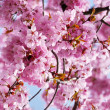 Pink cherry blossom in full bloom. - Stock Photo