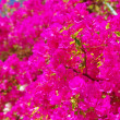 Bougainvilla - Stock Photo