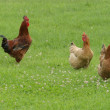 Hen free range - Stock Photo