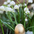 Royalty-Free Stock Photo: Easter egg meadow snowdrop