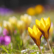 Crocus meadow spring — Stock Photo