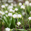 Snowflake plant spring — Stock Photo
