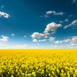 Empty canola field with cloudy sky — Stock Photo