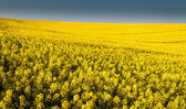 Whole picture canola field — Stockfoto