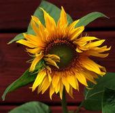 Majestic sunflower — Stock Photo