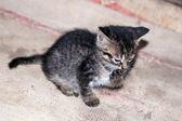 Lilla kattunge slickar sin tass — Stockfoto