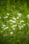 Chamomile on a meadow — Stock Photo