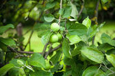 The fruits of apple trees growing on the tree — Stock Photo