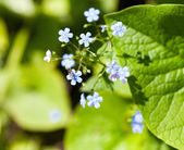A bunch of forget me nots — Stock Photo