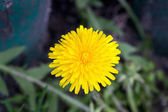 Dandelion blooming in early spring macro photography — ストック写真