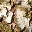 Stock Photo: Birch Bark Texture coarse
