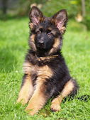 Puppy of german shepherd dog long haired — Stock Photo