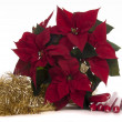 Poinsettia — Stock Photo #37577693