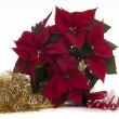 Stock Photo: Poinsettia