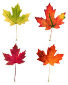 Fall leafs — Stock Photo