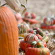 Pumpkin patch — Stock Photo #13539733
