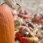 Pumpkin patch — Stock Photo